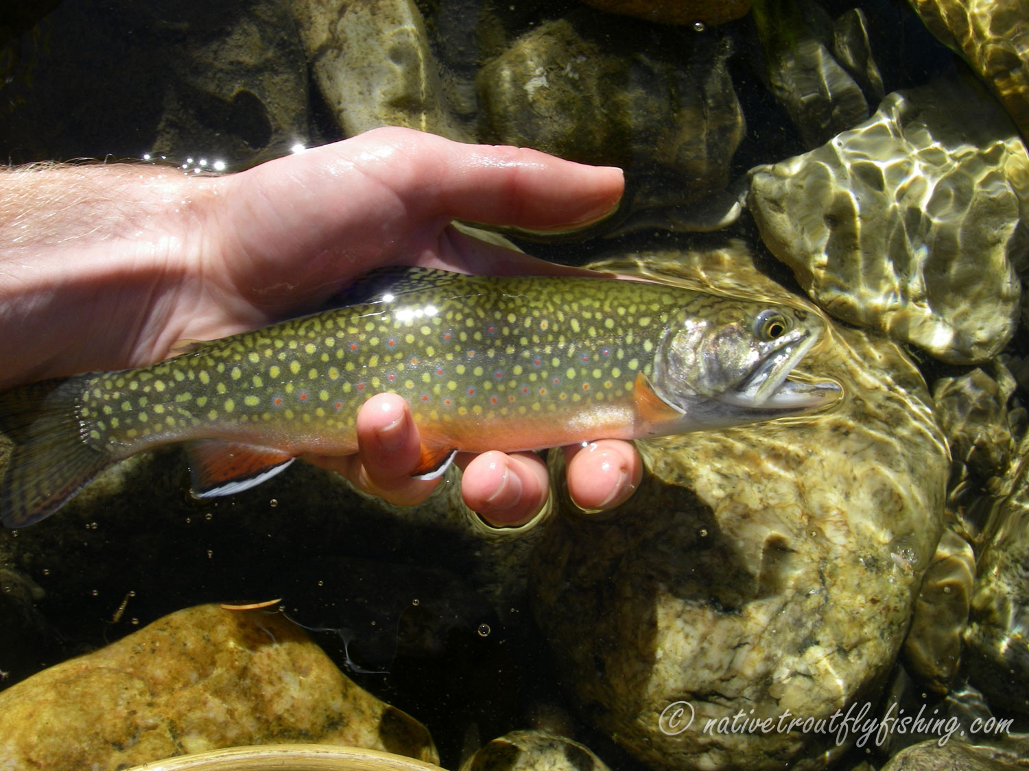 Native trout fly fishing brook trout for Trout fishing spots near me