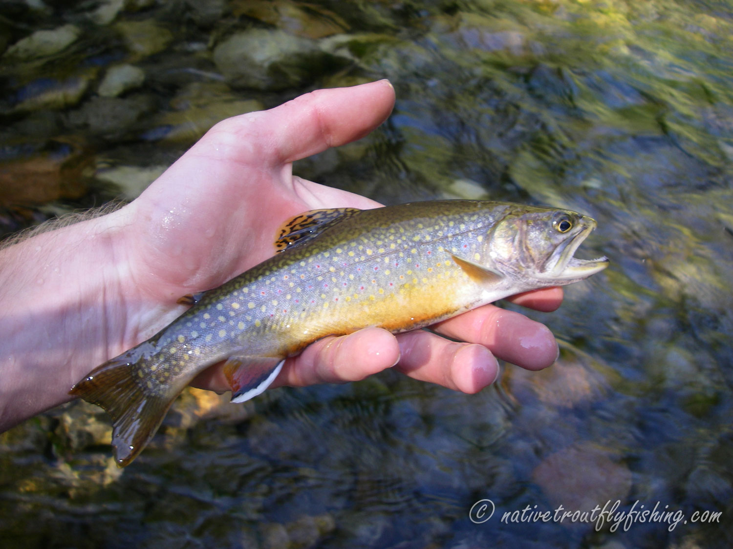 native trout fly fishing brook trout