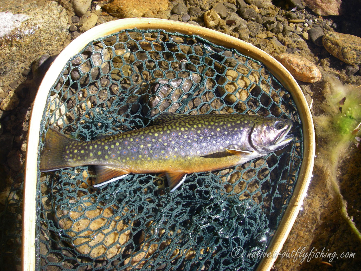 Native Trout Fly Fishing: Brook Trout - photo#19