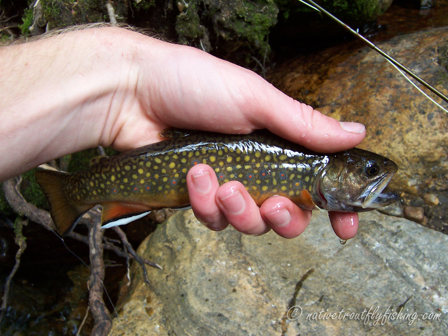 Native Trout Fly Fishing: Brook Trout - photo#40