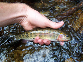 Native trout fly fishing trout and salmon species for Colorado fish species