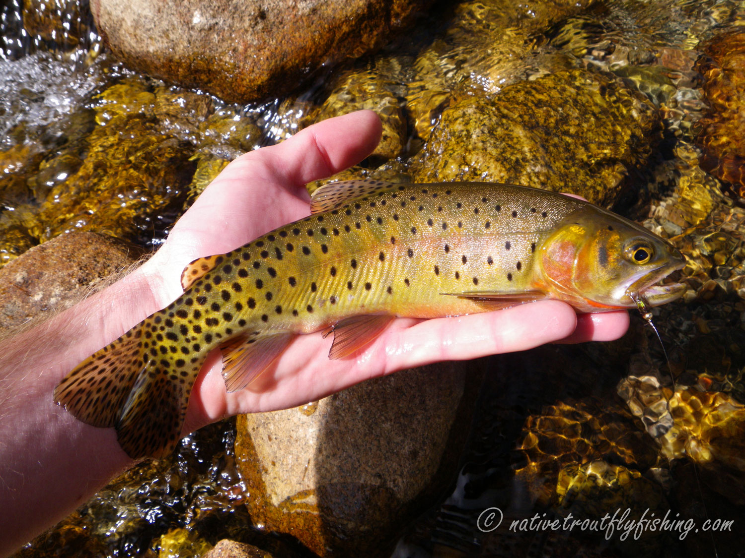 Native trout fly fishing colorado river cutthroat trout for Colorado river fly fishing