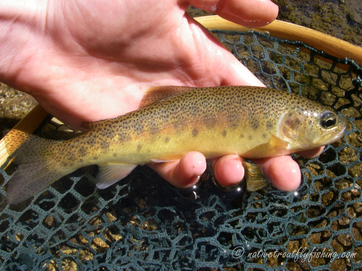 Native trout fly fishing gila trout for Trout fishing new mexico map