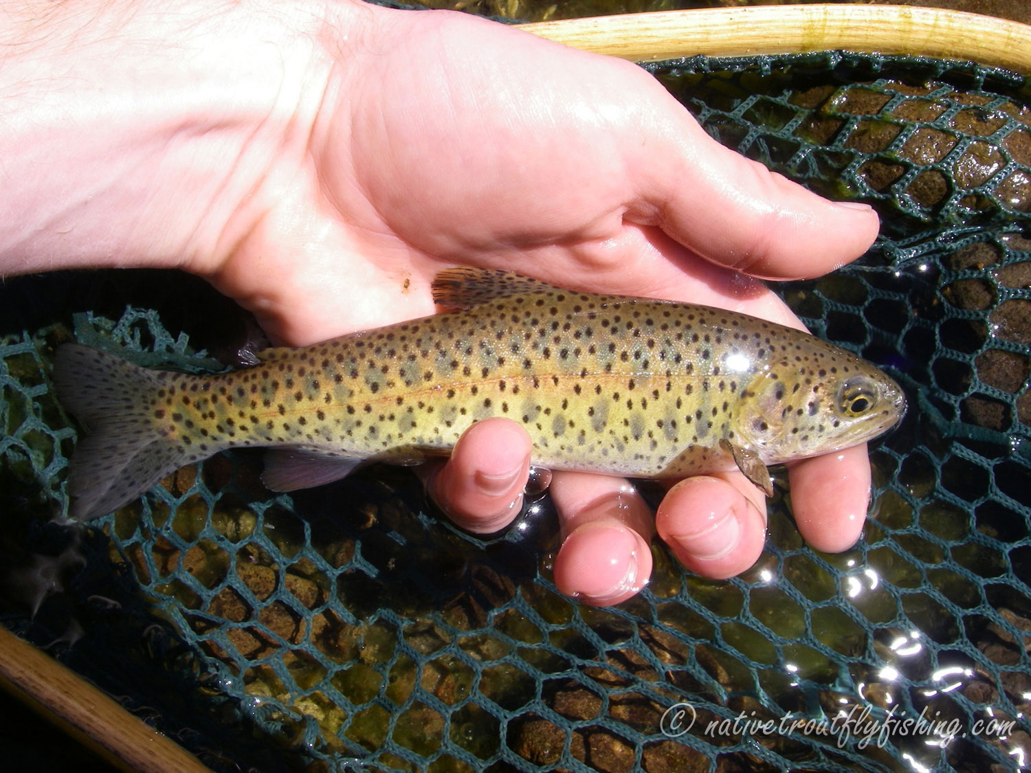 Native Trout Fly Fishing: Lahontan Cutthroat Trout