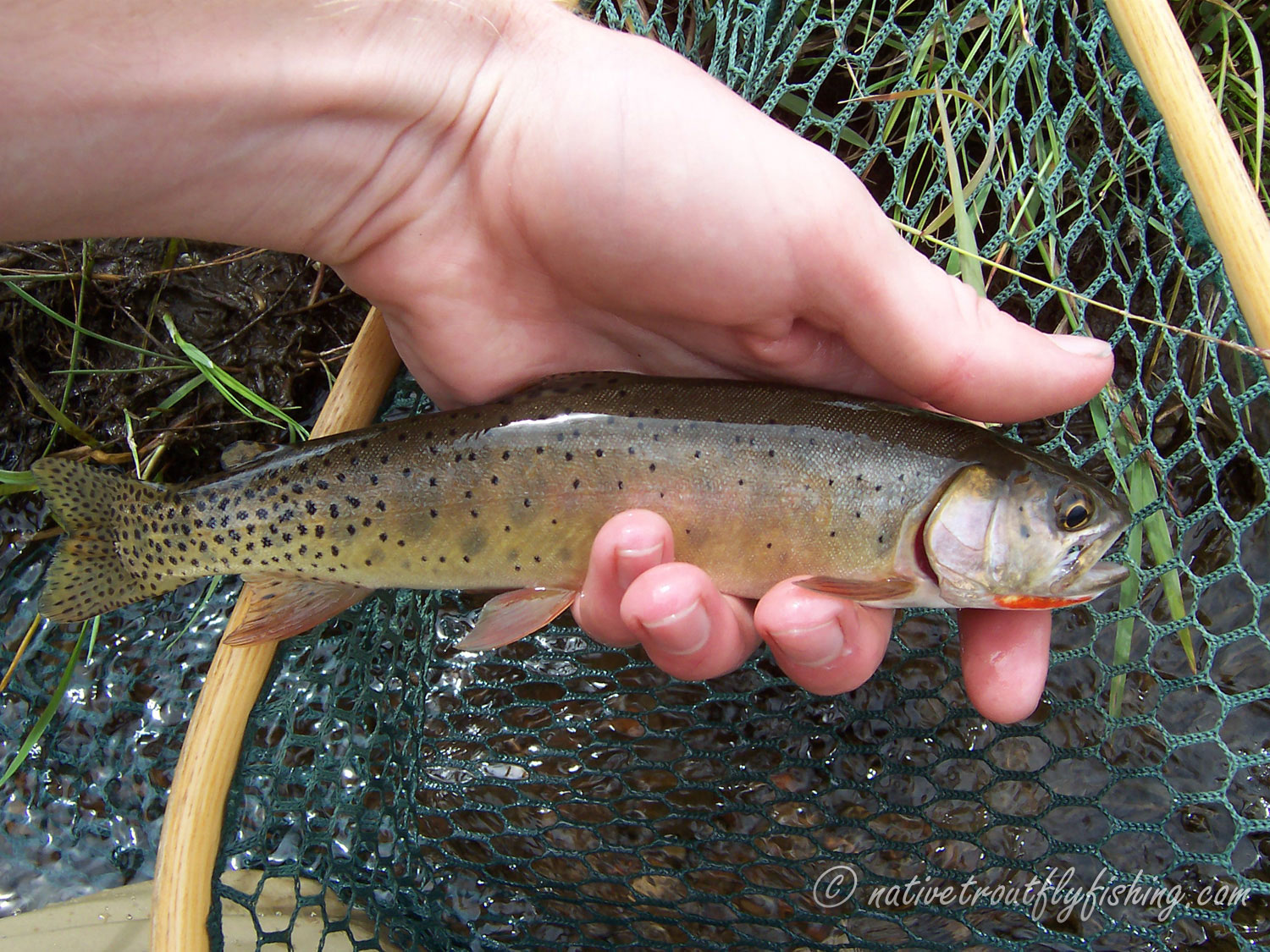 Native trout fly fishing rio grande cutthroat trout for Pecos new mexico fishing