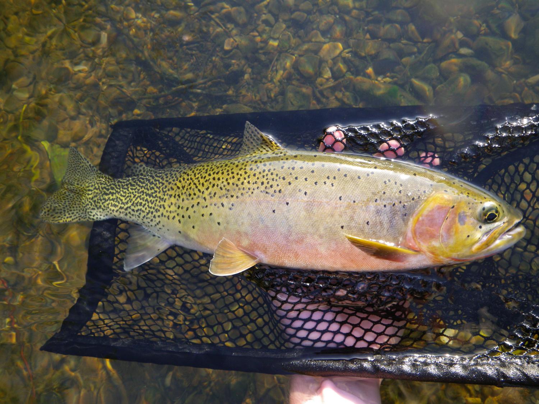 Westslope cutthroat trout for Devils lake oregon fishing